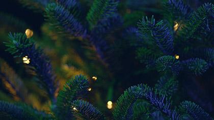 Christmas Pines Blue Green Close