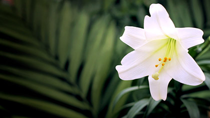 Easter Lily Palms