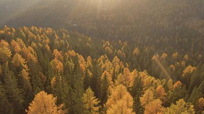 Epic Autumn Aerial Golden Pines