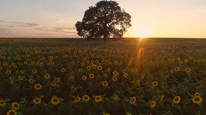 Epic Autumn Aerial Sunflower Sunset