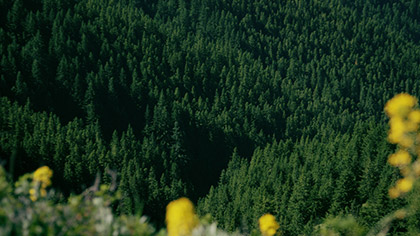 Mountain Pines Yellow Flowers