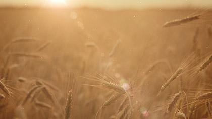 Summer Wheat Closeup Blur