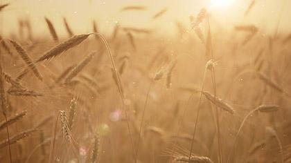 Summer Wheat Closeup Flare