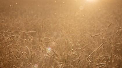 Summer Wheat Golden