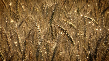 Harvest Wheat Particles