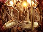 Fall Harvest Corn Closeup