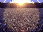 Fall Harvest Cornfield Sunset