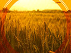 Fall Harvest Golden Wheat