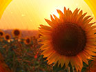 Fall Harvest Sunflower Sunset