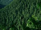 Mountain Pines Close Up