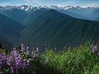 Mountain Pines Purple Flowers