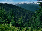 Mountain Pines Rolling Forest