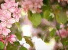 Pink Flower Tree Closeup