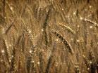 Harvest Wheat Particles